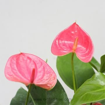 Anthurium Pink Anthurium Plant Anthurium Orchid Tree