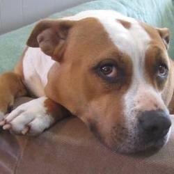 Kansas City Mo American Pit Bull Terrier Meet Gaia A Dog For