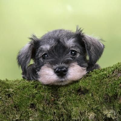 Miniature Schnauzer Puppy 6 Weeks Old On A Mossy Log Photographic Print At Art Com Sch Miniature Schnauzer Puppies Schnauzer Puppy Super Cute Dogs