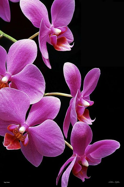 Royal Velvet In 2020 Orchid Photography Orchid Wallpaper Orchid Illustration