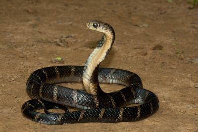 Pin By Harley Dalton On Wildlife King Cobra King Cobra Snake Snake