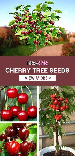 Egrow 20 Pcs Bag Cherry Seeds Home Indoor Fruit Bonsai Dwarf Cherry Tree Seed Planting Cherry Seeds Tree Seeds Indoor Fruit