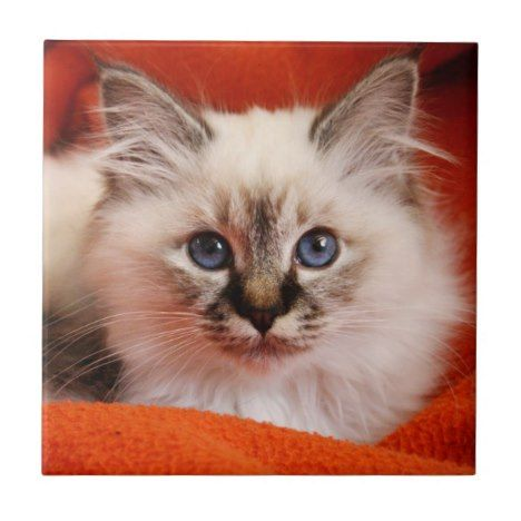 Sacred Birman Kitten Tile Zazzle Com Birman Kittens Cute Baby