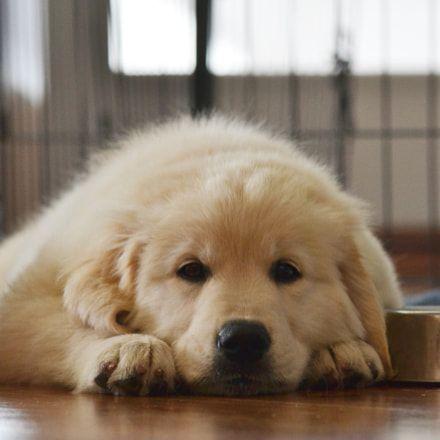 Doggy Dan S Kind Gentle Dog Training Method Golden Retriever Dogs Puppies