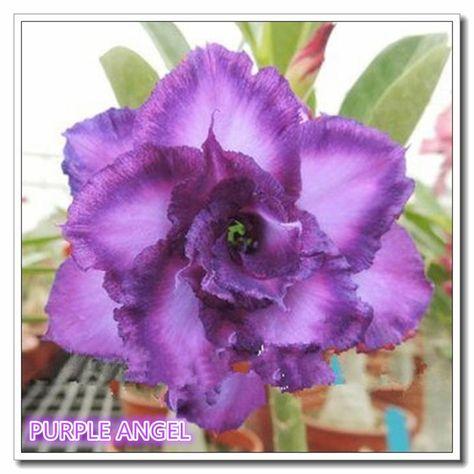 5 Pcs per lot-Desert Rose Seeds Purple Angel Adenium Obesum Color seeds 100% True Seeds