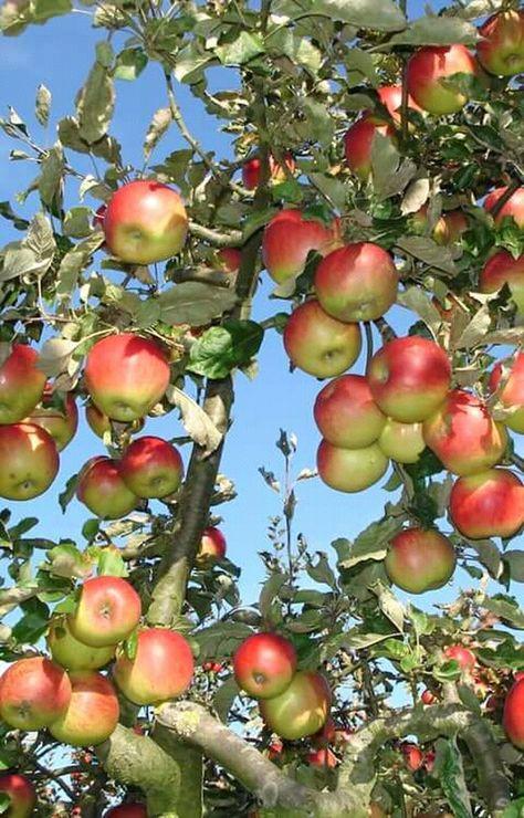 26 Fruit Trees Ideas Fruit Trees Fruit Fruit Photography