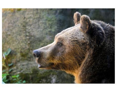 Art Print Marsican Brown Bear Profile 44x56in Brown Bear