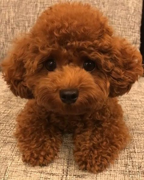 Teddy bear poodle puppies for sale and adoption | Contact us to know more!