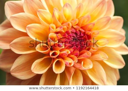 Close Up Of A Single Orange Carroty Dahlia Bloom The National Flower Of Mexico Meaning Staying Graceful Under Pressure Especially In Bloom Dahlia Flowers