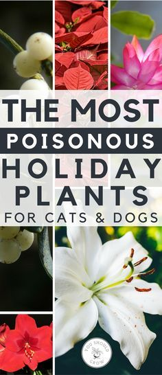 Are Poinsettias Poisonous To Cats And Dogs What About Mistletoe And Holly Find Out Which Holiday Plants You M Cat Safe Plants Organic Vegetable Garden Plants