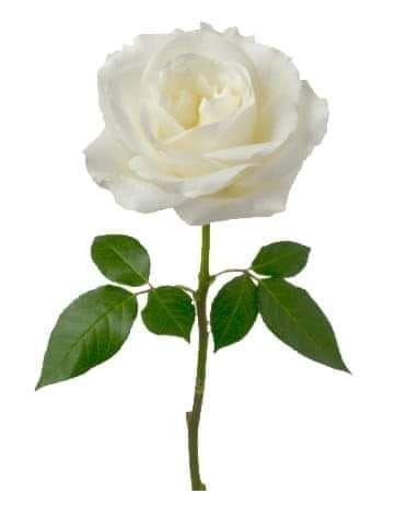Linda Rosa Blanca Rosas Blancas Buenas Noches Hermoso Flores