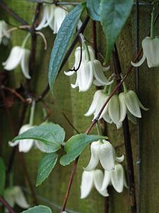 Clematis urophylla 'Winter beauty' - Winter flowering evergreen clematis