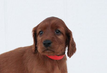 Browse Irish Setter Puppies For Sale Today Vip Puppies Works With