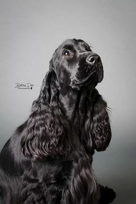 Black Cocker Spaniel This dog looks like my cockerspaniel ❤❤❤❤ But she live, slowly one year  in clouds❤❤❤❤