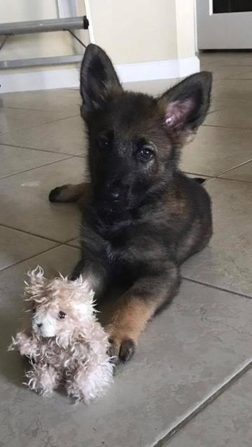 Gsd Puppy Dog Adoption German Shepherd Dogs Shepherd Dog