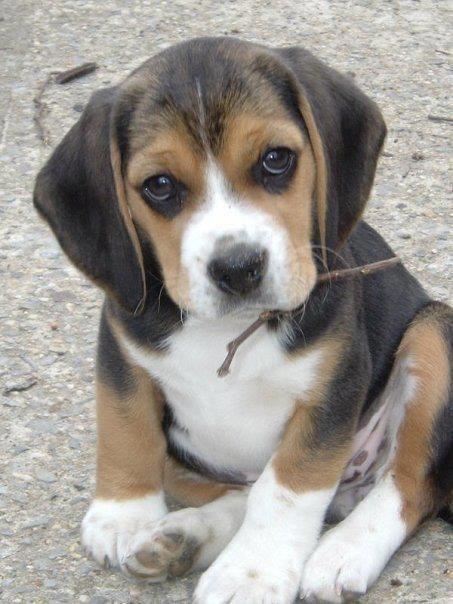 Pocket Beagle Cute Beagles Beagle Puppy Cute Dogs
