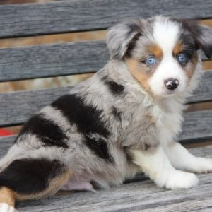 William Australian Shepherd Puppy 582233 Puppyspot Australian