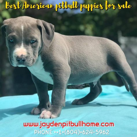 The American Pitbull Terrier Puppies Are Medium Sized Its