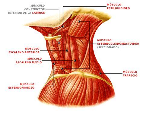 51 Ideas De Anatomía Anatomía Anatomia Musculos Anatomía Humana