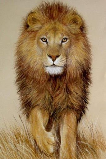 Lion Live Wallpaper High Quality Desktop Iphone And Android