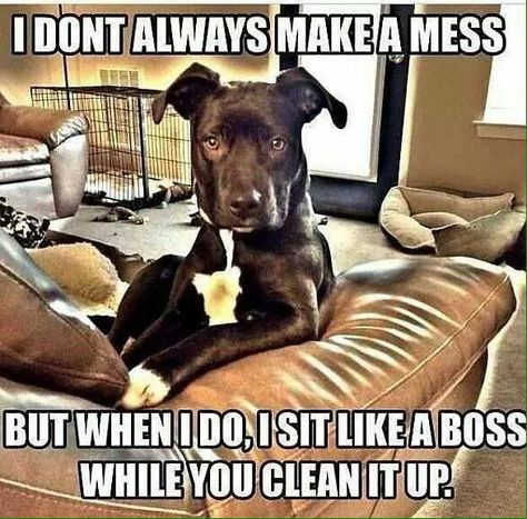 The best dog memes of 2019 by Small Animals. Enjoy the funny dogs meme. Funny Animal Memes, Dog Memes, Funny Animal Pictures, Funny Dogs, Funny Animals, Cute Animals, Animal Pics, Dog Humor, Clean Animal Memes