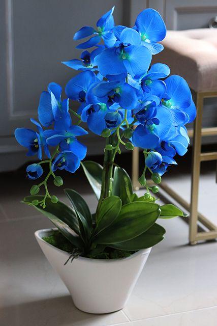 Elegancki Niebieski Storczyk Morskie Oko Wys 64cm Orchids Plants Flowers