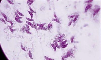 toxoplasma microbiologia
