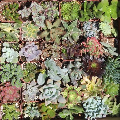 $38.95  36 Mixed Succulent Spring Collection by jiimz Succulent Colections, http://www.amazon.com/dp/B004HI1KSC/ref=cm_sw_r_pi_dp_AwByrb0TV7N8N
