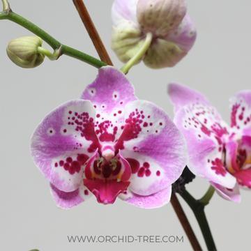 Phalaenopsis Fuller S Pink Swallow Orchids Light Pink Flowers Phalaenopsis