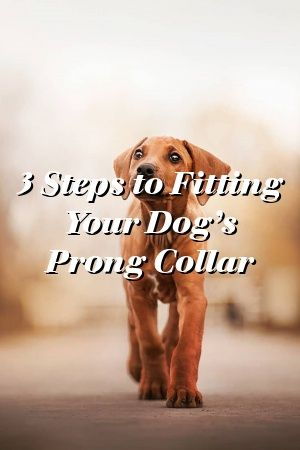Dogs Camp Discovers 3 Steps To Fitting Your Dog S Prong Collar
