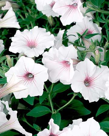 How To Grow Extraordinary Petunias Throughout The Summer Petunias Annual Plants Plants