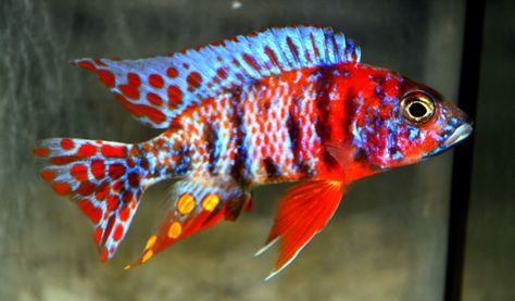 Aulonocara SP. (Hybrid) OB Peacock Cichlid I have a bisque fired pair of fish (cichlids) on coral that I would like to paint resembling these colorful real life cichlids.