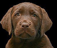 Chocolate Lab Schokolade Labrador Retriever Tier Fotos