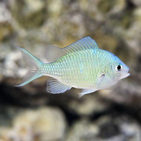 Sw Blue Green Reef Chromis Indonesia Small Saltwater Aquarium Fish Marine Aquarium Aquarium Fish