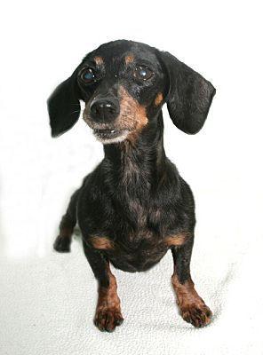 Pearland Tx Dachshund Meet Tootsie A Dog For Adoption