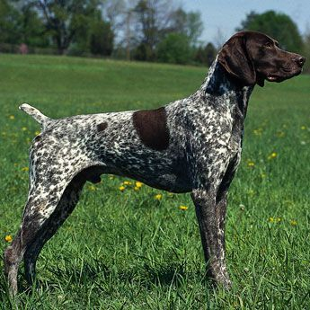 Dogs Breeds Easy Dog Care Advice Everyone Should Know More Info Could Be Found At The Image Ur Dog Breeds Medium German Shorthaired Pointer Dog Fancy Dog