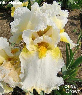 Bridal Crown Historic Iris Preservation Society Iris Flowers White Iris Bridal Crown