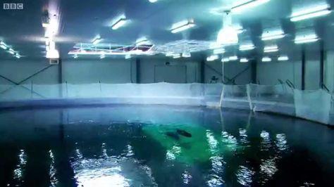 Breeding Wild Southern Bluefin Tuna - Australia with Simon Reeve - BBC