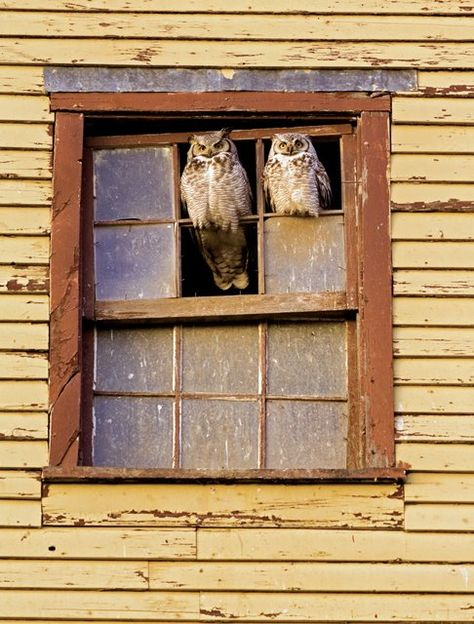{perched great horned owls}