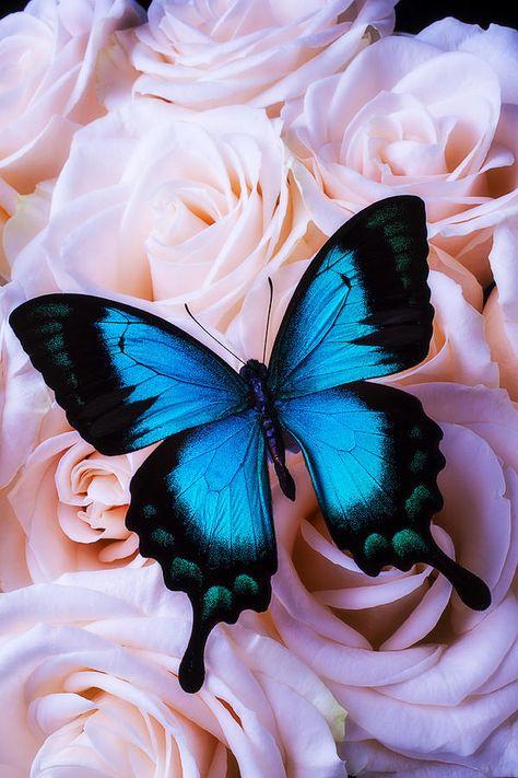 Soft Blue Butterfly Photograph