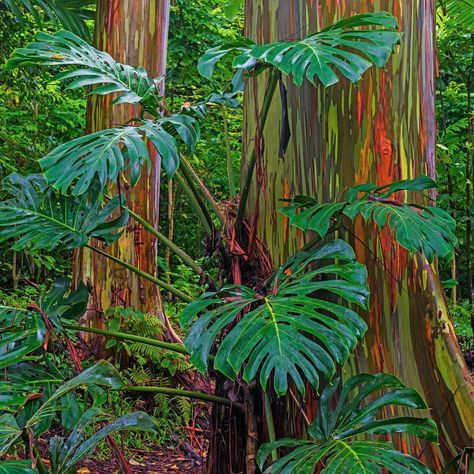 Rainbow Eucalyptus On The Road To Hana Hana Rainbow Rainboweucalyptus Maui Hawaii Tree Trees Rain Rainbow Eucalyptus Rainbow Eucalyptus Tree Instagram
