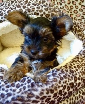 Yorkshire Terrier Puppy For Sale In San Antonio Tx Adn 70052 On