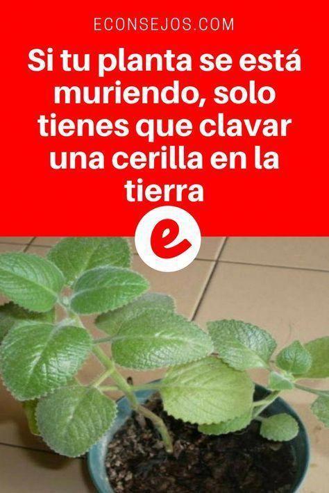 Truco De Jardinería Revive Tus Plantas Marchitas Con Cerillas Jardineria Y Plantas Fertilizante Para Plantas Cultivo De Plantas