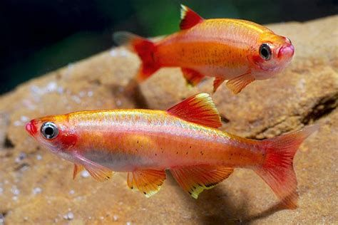 Zolotoj Kardinal Golden White Cloud Mountain Minnow Freshwater Aquarium Fish Aquarium Fish