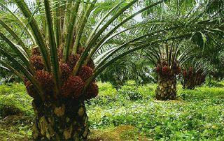 Foto Kebun Kelapa Sawit