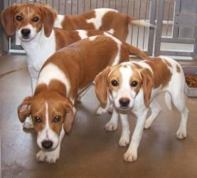 The Beagle Pack Is An Adoptable Beagle Dog In Winchester Va Pack