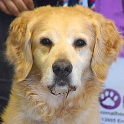Available Pets At Animal House Shelter Inc In Huntley Illinois Golden Retriever Pet Adoption Retriever