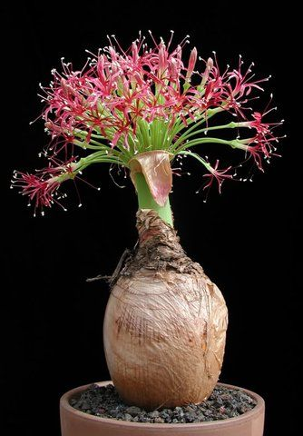 Boophane Disticha Photo By Treasuredbotanicals Fleurs Exotiques