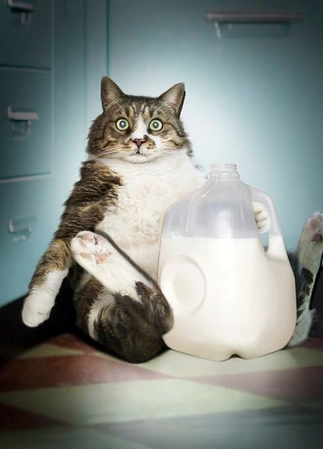 Hairy cats eat milk