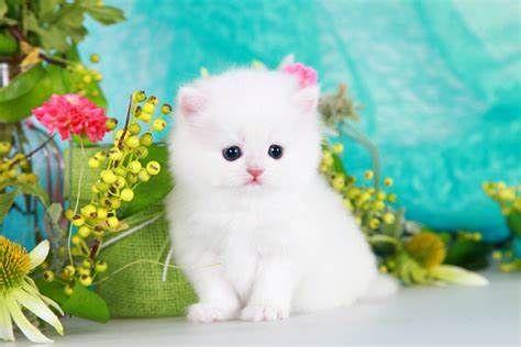 Cute White Fluffy Kittens For Sale White Fluffy Kittens Kittens